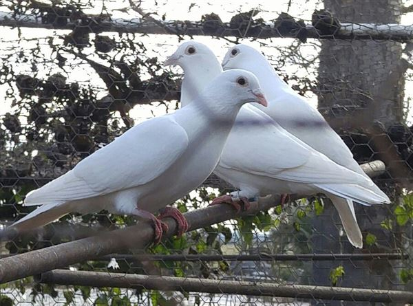White Doves Of Love